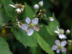 Brombeere mit Wespe (Teresa (be there...)) Tags: wespe insekt blume brombeere