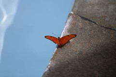 (fabhuleux) Tags: blue water 6d france antilles martinique canon nature butterfly