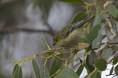 Forty-spotted Pardalote (Peter Vaughan 2) Tags: wildlife nature australia tasmania endangered rare eucalyptus pardalote fortyspotted feathers avian nikon d5100 sigma 150500mm bruny island endemic aves feeding naturephotography wildlifephotography birdphotography pardalotidae birding birdwatching