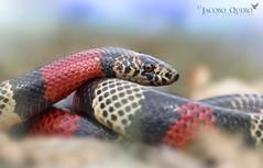 Falsa coral ecuatoriana/ Ecuadorian milk snake (Lampropeltis micropholis) (Jacobo Quero) Tags: falsacoral milksnake lampropeltismicropholis snake reptile reptil herping nature naturaleza wildlife animal