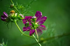 Purple and Green (Mulewings~) Tags: flowers cosmos purple green leaves mygarden garden