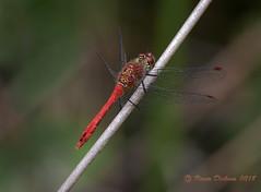Ruddy darter 02 (Roger Dickens) Tags: ruddydarter sympetrumsanguineum haywood warwickshire dragonfly pentaxk3 sigma105mmmacro wetland