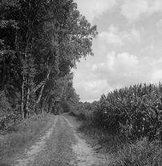 Along the fields (Rosenthal Photography) Tags: ilfordfp4 ff120 asa125 ostepfad mittelformat 6x6 schwarzweiss 20180715 rolleiflex35f ilfordlc2912920°c12min analog nordpfade path pathway way track trail road landscape july summer clouds maize mood blackandwhite rollei roleiflex 75mm f35 35f sk schneiderkreuznach xenotar ilford fp4 fp4plus lc29 129 epson v800