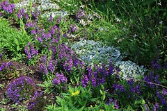 Assumptions Will Break You (Michiale Schneider) Tags: purple flowers wildflowers nature michialeschneiderphotography