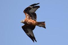 Rotmilan (MyWorldsView) Tags: red kite rotmilan milan vogel bird raptor greifvogel raubvogel nature wildlife