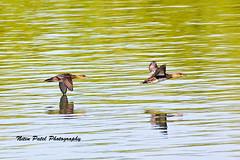 IMG_6856 (nitinpatel2) Tags: bird nature nitinpatel