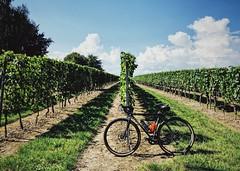 231/365 Gravel in the vineyard (Árni Svanur Daníelsson) Tags: cantongeneve geneve gravelbike summer2018 summer vineyard straggler surlybikes surly bike cycling