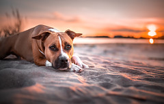 Jekku and sunset (Le-laa) Tags: jekku amstaff americanstaffordshireterrier americanstaffy dog dogphotography dogportait sunset sunlight sun beach yyteri sea canon6d canon photography petphotography