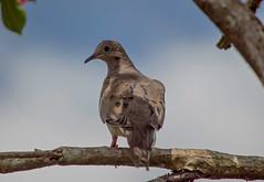 Standing In The Shadows (ACEZandEIGHTZ) Tags: zenaida macroura nikon d3200 backyard birdwatcher nature dove mourning tree branch