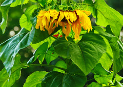 """Healthy Sunflower (Darrell Colby """" You Call The Shots """") Tags: health healthy sunflower summer2018 2018 londonontario darrellcolby"""