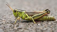 Two-striped Grasshopper (claudiaulrikegoodall) Tags:
