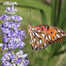 Gulf Fritillary on Chaste Tree