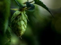 Bierkönig (BeMo52) Tags: beer bier bokeh flora garten green hop hopfen lights lowkey macro makro natur nature shadow structure texture biet light licht hss natureistanartist smileonsaturday
