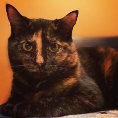 (Das_Zaku) Tags: cat zenobia meow feline billee gato northeast philly animal 猫 बिल्ली ਬਿੱਲੀ cattus katze chat قط کیٹ tortoiseshell torty