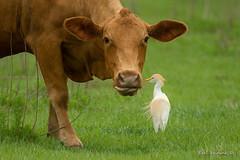 Inspect my nose please.. (Earl Reinink) Tags: bird animal wildlife nature earl reinink earlreinink outside outdoors cow heron cattle cattleegret grass aodhduodza livestock field