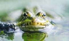 béka úr és potyautasai (hispan.hun) Tags: frog reptile reptilian green macro macrophoto pentacon projectorlens projector sony sonyphotography sonya7ii macromode hispansphotoblog water nature hispanhu naturephotography animal animals calm 100mm