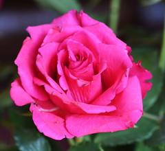 DSC_0693 (PeaTJay) Tags: nikond750 sigma reading lowerearley berkshire macro micro closeups gardens indoors nature flora fauna plants flowers rose roses rosebuds