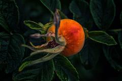 Rose hip (anderswetterstam) Tags: berries nature plants seasons plant rose hip closeup summer