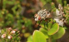 cf Linnaemya vulpina tachinidae (BSCG (Badenoch and Strathspey Conservation Group)) Tags: acm insect diptera tachinidae linnaemya august sunshine heathland vaccinium calluna fly