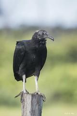 DSC_9909 (P2 New) Tags: 2017 accipitriformes animaux cathardidae date guatémala guyane kourou novembre oiseaux pays urubuàtêtenoire