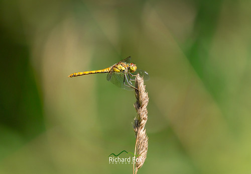 Yellow Winged Darter ♀