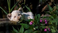 Transvaal- Löwenbaby.... (Fritz Zachow) Tags: löwenbaby tierpark thüle raubtier katze raubkatze säugetier