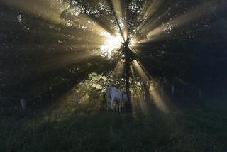 Rinder zählen im Morgennebel - Kuh an der Tränke; Bergenhusen, Stapelholm (11)