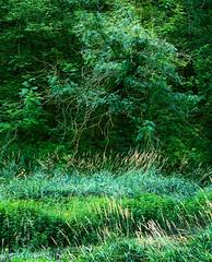 For the love of green (CactusD) Tags: lathkilldale lathkill colour green landscape nikon d800e movements fx uk unitedkingdom gb united kingdom greatbritain great britain derbyshire peakdistrict nationalpark national park fuji film fujifilm fujichrome velvia velvia50 5x4 4x5 85mmf28pce tilt shift tiltshift 85mm 85pce digitized linhof technikardan tks45 s45 fujinont400mmf8 fujinon 400mm f8 largeformat trees woodland