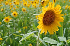 Away from the Light (*Deep*) Tags: pentax k01 flens 28 flowers fresh closeup colorful green nature beautiful blooming macro sunflower field wild abundance sun light focus yellow big