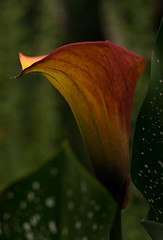 The Cup That Glows (fotostevia) Tags: aitkensirisgarden aitkenssalmoncreekgarden calla flowers pentaxart