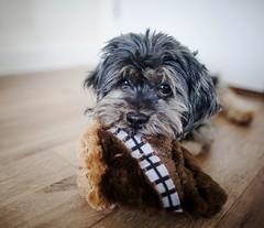 32/52 - Mine! (Kirstyxo) Tags: teddy cute dog sweet expression toy ewok 3252 52weekfordogs 52weeksfordogs18 52weeksfordogs2018