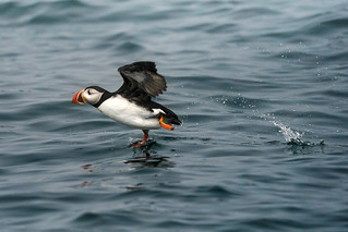 Puffin Launch - Maine