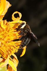 Xylocopa sp. ♀ (Carpenter Bee) - Entebbe Uganda (Nick Dean1) Tags: animalia arthropoda arthropod hexapoda hexapod insect insecta hymenoptera xylocopa carpenterbee bee uganda entebbe