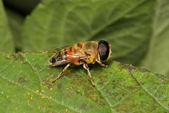 Eristalis tenax (Drone Fly) - Entebbe, Uganda (Nick Dean1) Tags: animalia arthropoda arthropod hexapoda hexapod insect insecta diptera syrphidae eristalis eristalistenax dronefly lakevictoria entebbe uganda