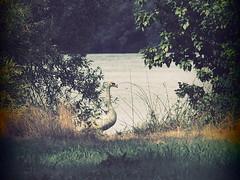 Wildlife in Brunswik (1elf12) Tags: schwan swan südsee lake braunschweig melverode germany deutschland vogel bird