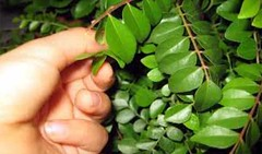 Uses Of Curry Leaves For Hair Growth (harshagrawal397) Tags: uses curry leaves for hair growth