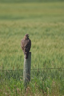 Juvenile Red-tailed Hawk - Buteo jamaicensis