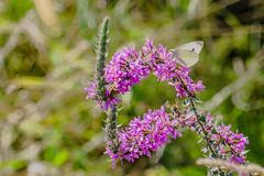 Flowers and butterflies (a7m2) Tags: wiese heide wienerwald spazieren wandern jogging erholung fauna flora insekten weinberg natur