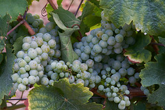 Rheingau-Riesling-2018 (ckhde) Tags: csonnart1550 zeiss ilce7rii grapes wine zm nature carlzeiss