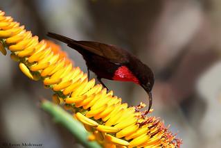 Scarlet-chested Sunbird (m)