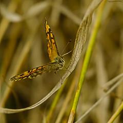 Wall Butterfly (ianbartlett) Tags: outdoor macro landscape wildlife nature birds butterflies dragonflies cattle flight flowers colour light shadows clouds