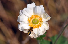 BEE SIPPING JAPANESE ANEMONE (concep1941) Tags: flowers daughterofthewind gardens parks bees