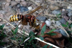 Hornisse mit Biene (JS Highspeed Photography) Tags: highspeed kurzzeit pqs fuji xe2 makro macro insect insekt flugaufnahme flug flight fly hornisse wespe biene