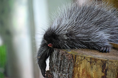 Can't Roll Out of Bed (MTSOfan) Tags: porcupette log yawn epz sleepy tired relaxed
