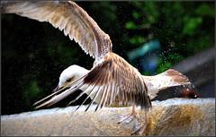 oups, de justesse l'atterissage ! (Save planet Earth !) Tags: france nice goéland seagull amcc nikon