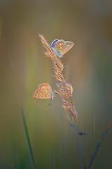Polyommatus icarus (epioxi) Tags: epioxi hauhechelbläuling bläuling commonblue polyommatusicarus lycaenidae butterfly bướm bươmbướm schmetterling nature