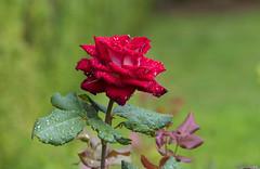 Flowers. (ost_jean) Tags: rose flower nikon d5300 tamron sp 90mm f28 di vc usd macro 11 f004n ostjean bokeh raindrups roos bloem fleur regendruppels