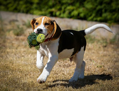 Spike (LuckyMeyer) Tags: beagle dog pet haustier black brown white