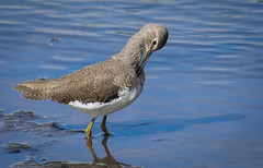 Green Sandpiper preening (ianrobertcole1971) Tags: green sandpiper wader bird wading preening nikon d7200