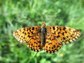 Butterfly 1716